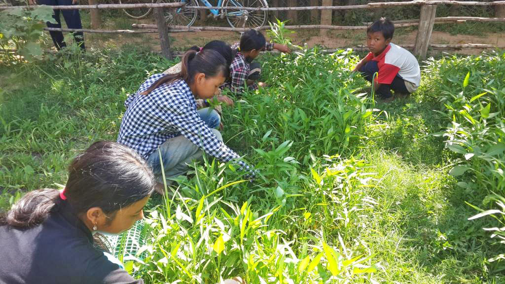 Harvesting our morning glory - a staple of the Cambodian diet